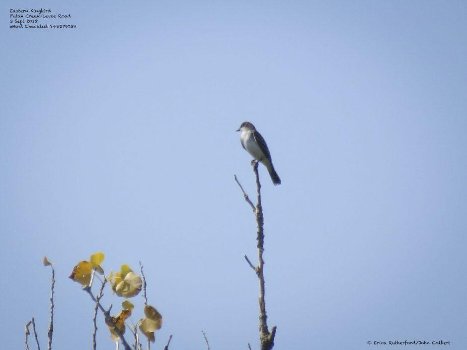 Eastern Kingbird @ Putah Creek, © Erica Rutherford/John Colbert