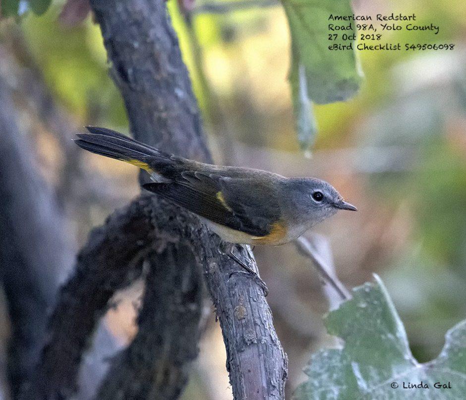American Redstart, © Linda Gal