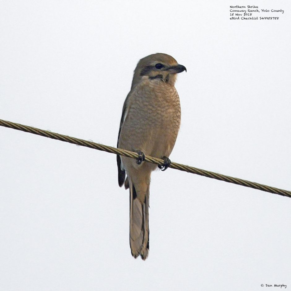 Northern Shrike (Immature), © Dan Murphy