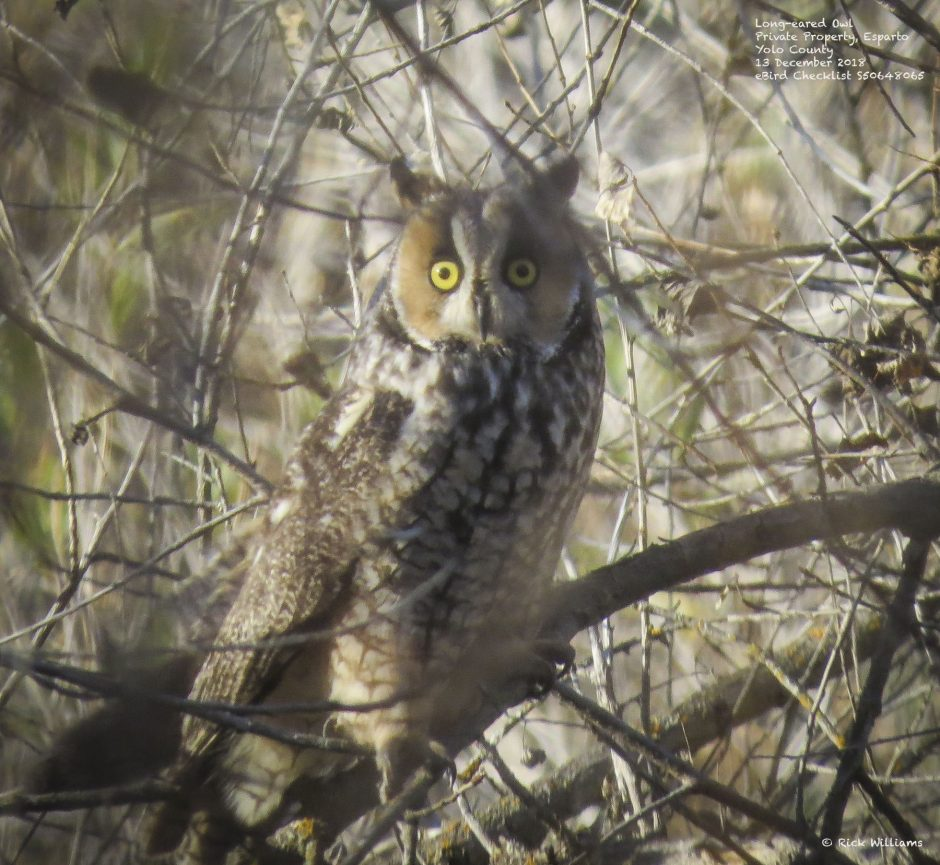 Long-eared Owl, © Rick Williams