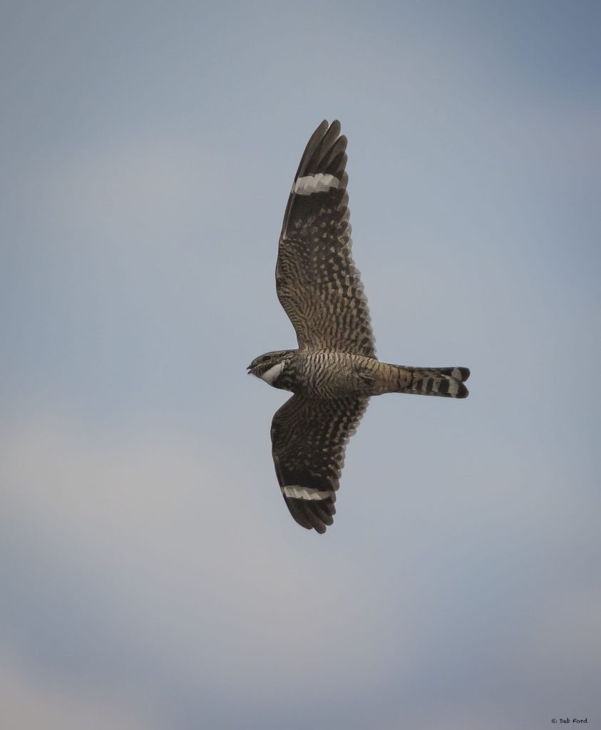 Lesser Nighthawk at Capay Open Space, © Deb Ford