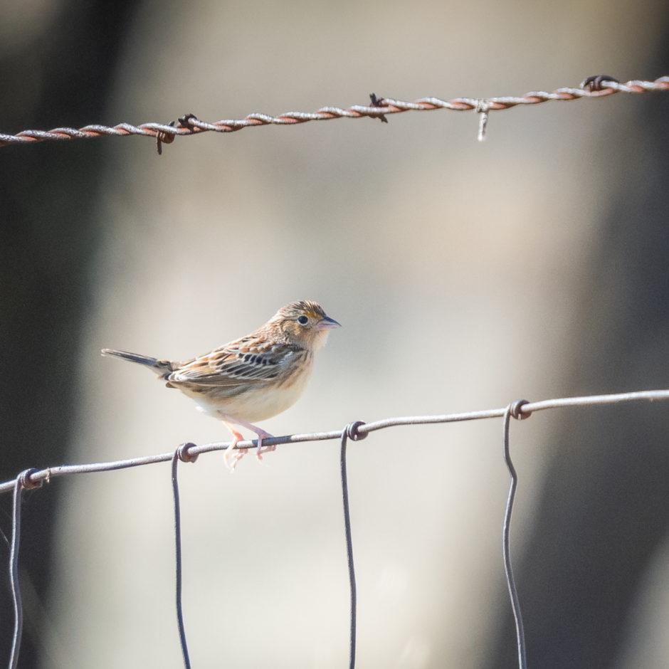 Grasshopper Sparrow; © Deb Ford