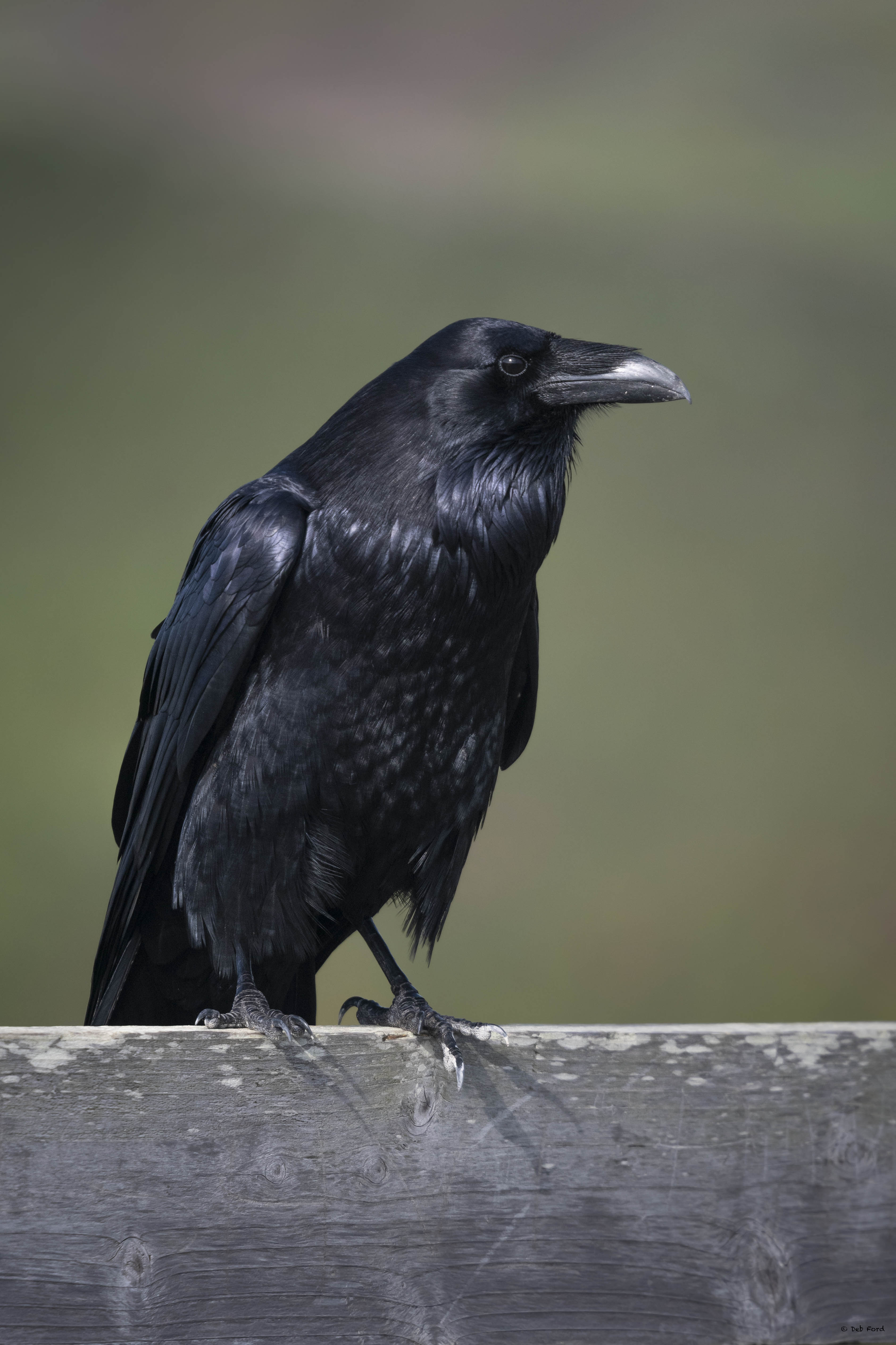 Quoth the Raven... (© Deb Ford)