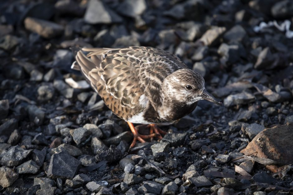 Ruddy Turnstone; Bodega Bay, Jan 2019; © Deb Ford