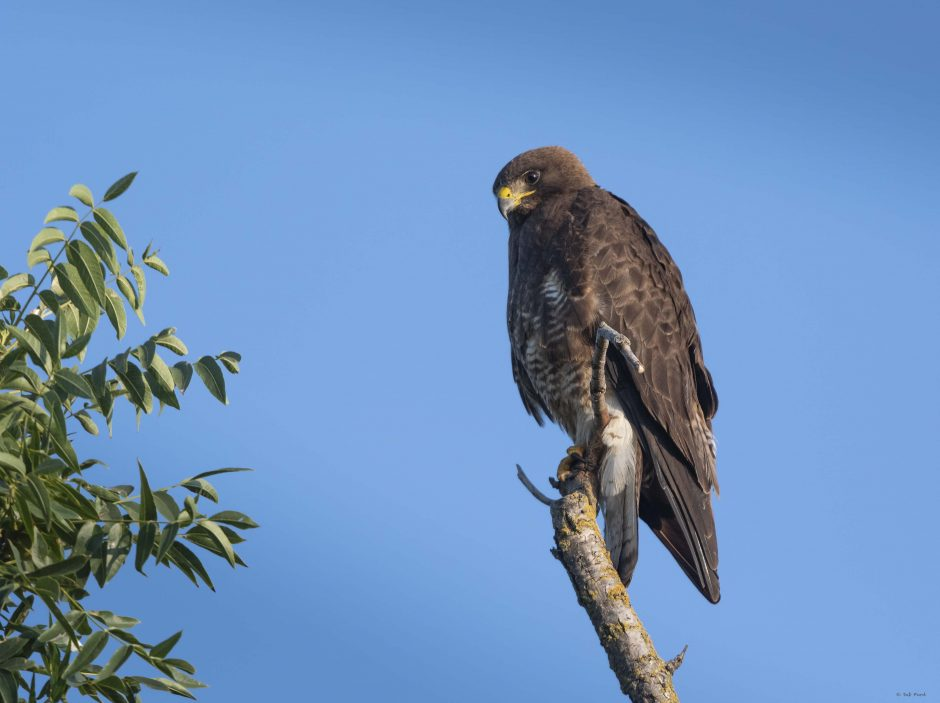 Swainson's Hawk; Yolo County; © Deb Ford