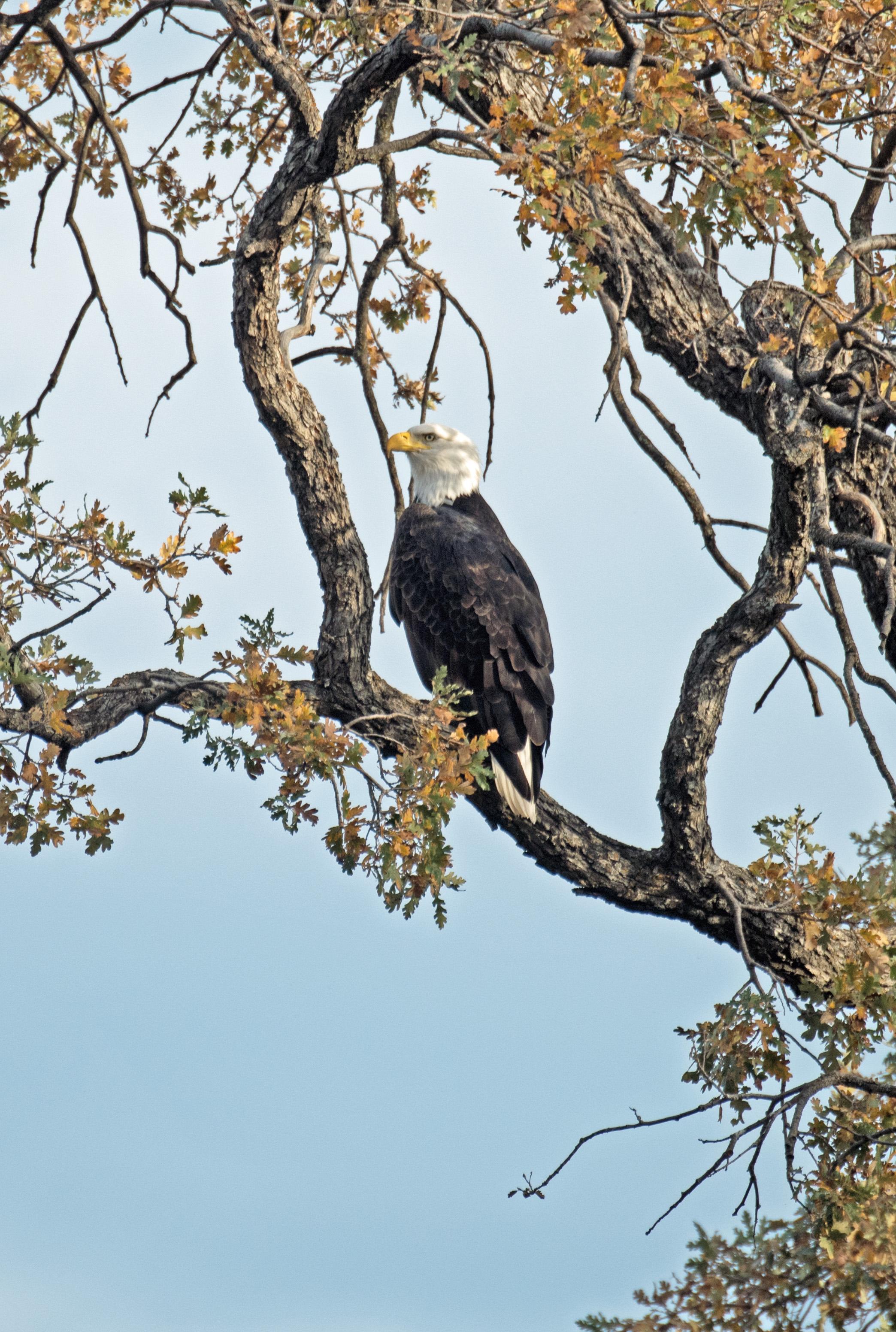 Adult Bald Eagle, Rumsey Bridge, Kevin Guse