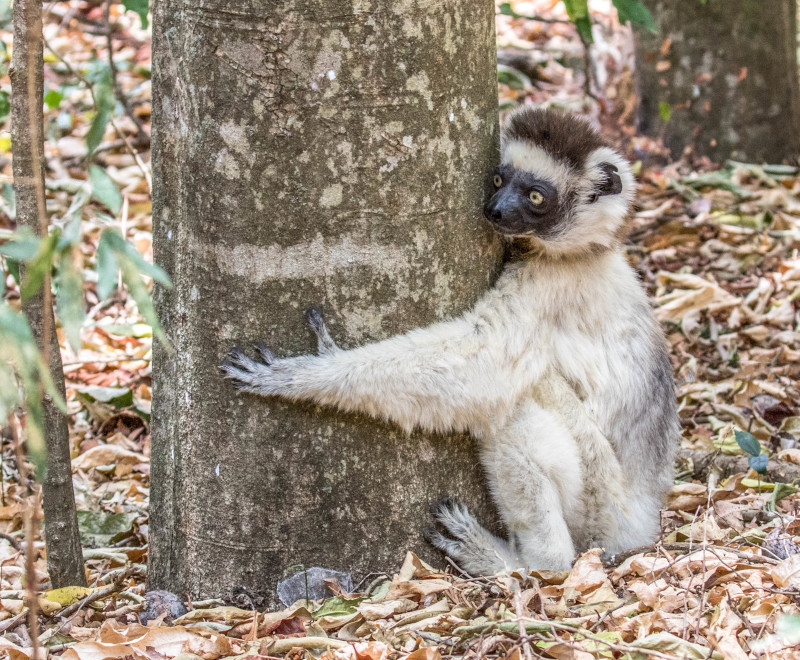 Verreaux's sifaka - photo by Ann Brice