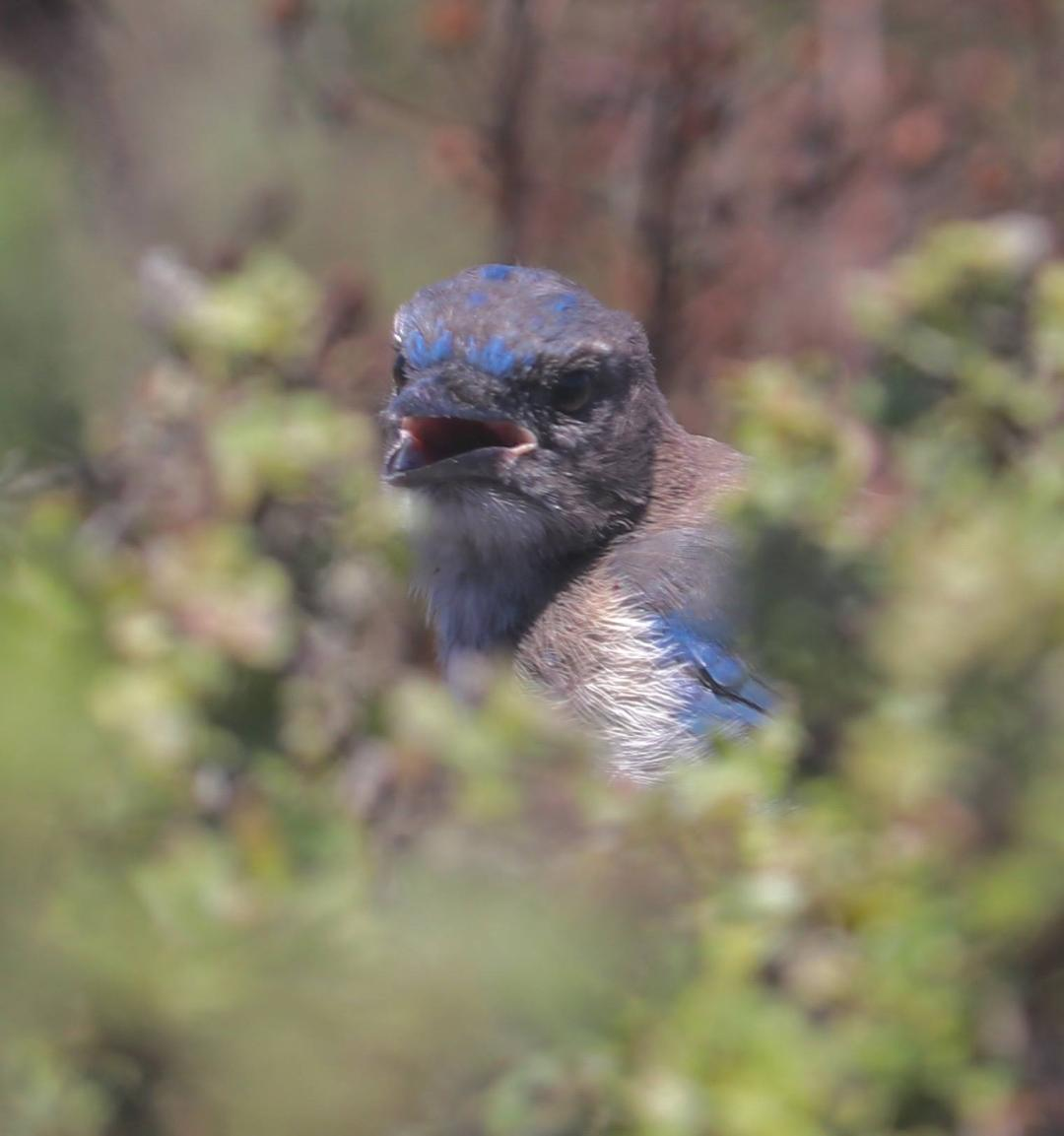 California Scrub-Jay, Lori Maloney
