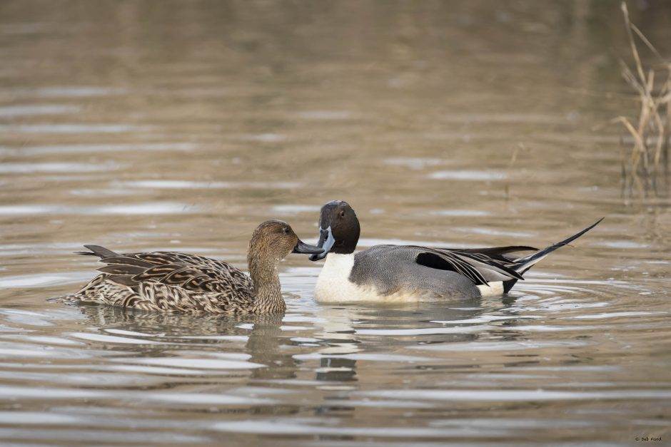 Northern Pintail; © Deb Ford