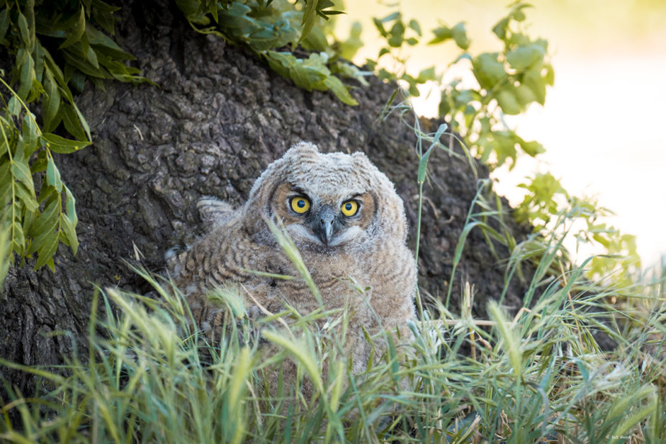 Juvenile Great Horned Owl; © Deb Ford