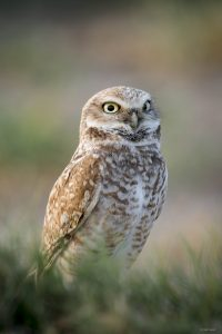 Burrowing Owl, Yolo County; © Deb Ford