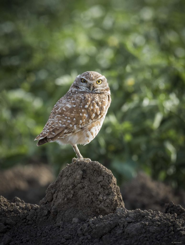 Burrowing Owl, Yolo County (Deb Ford)
