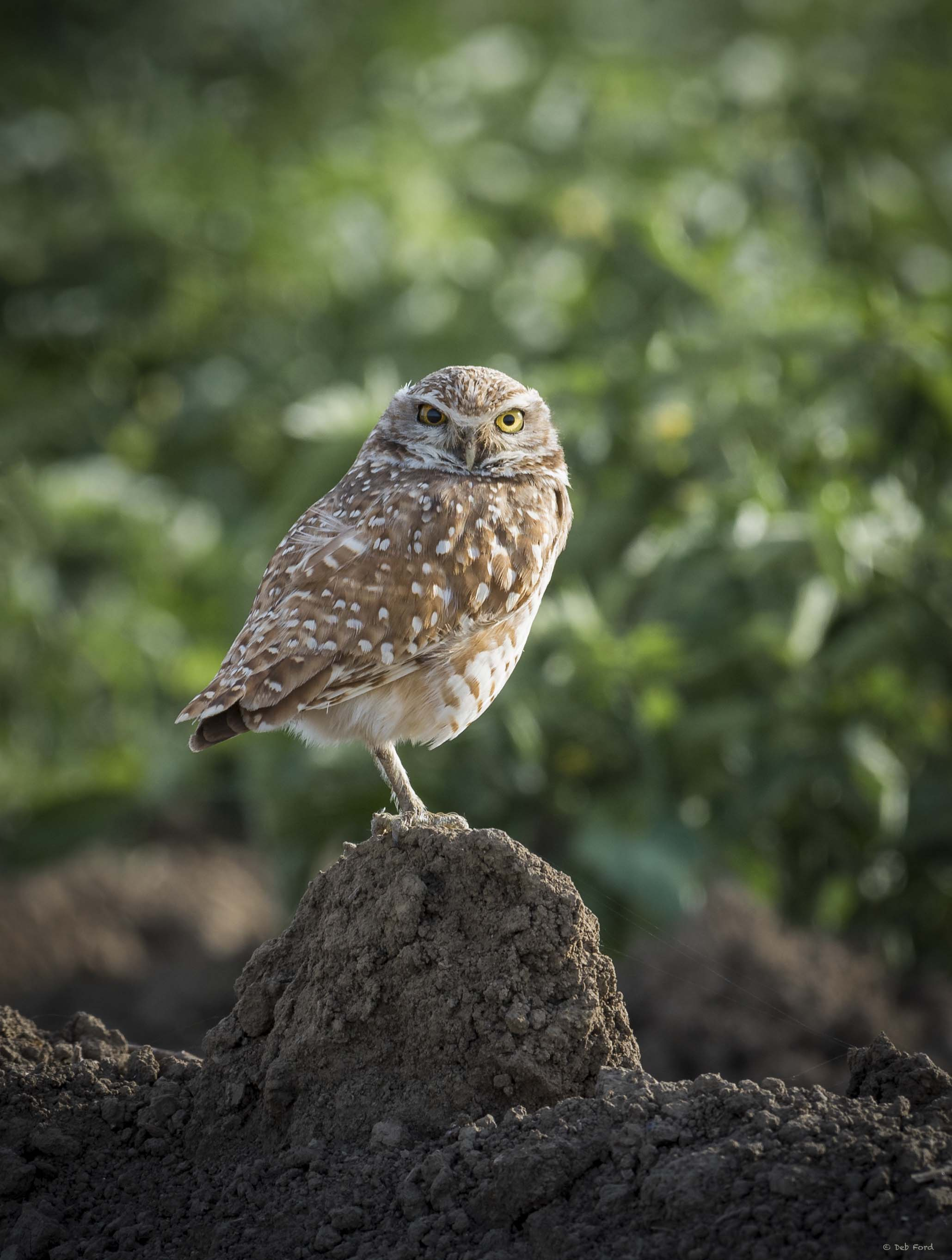 Burrowing Owls at Risk on the Urban Fringe