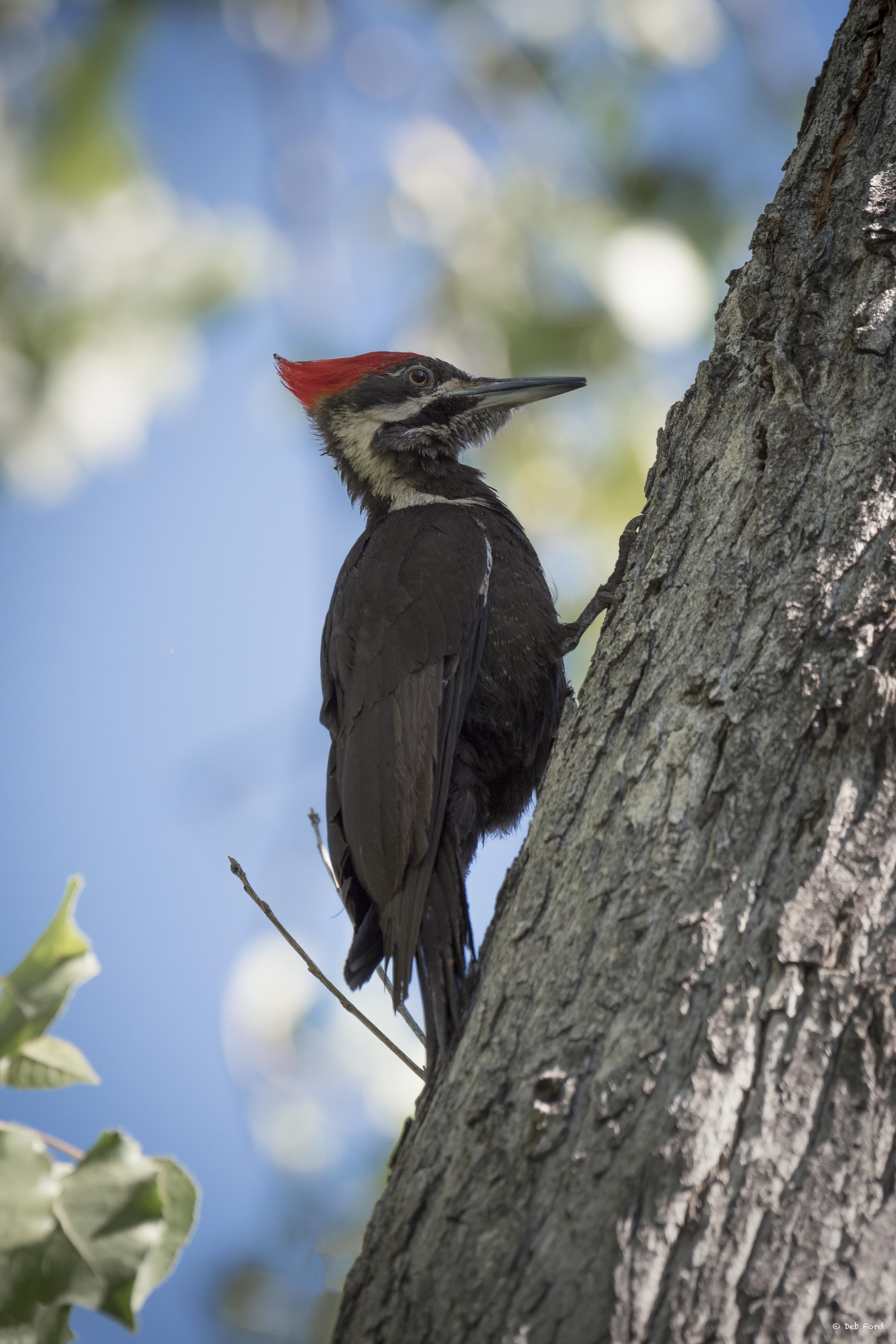 Pileated Woodpecker; © Deb Ford