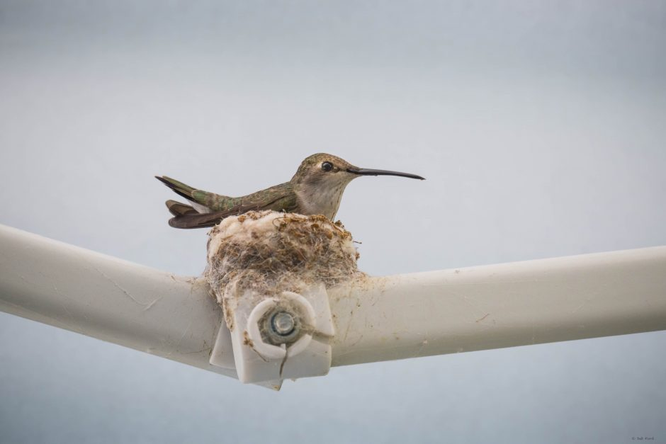 Black-chinned Hummingbird at Nest; Davis; © Deb Ford