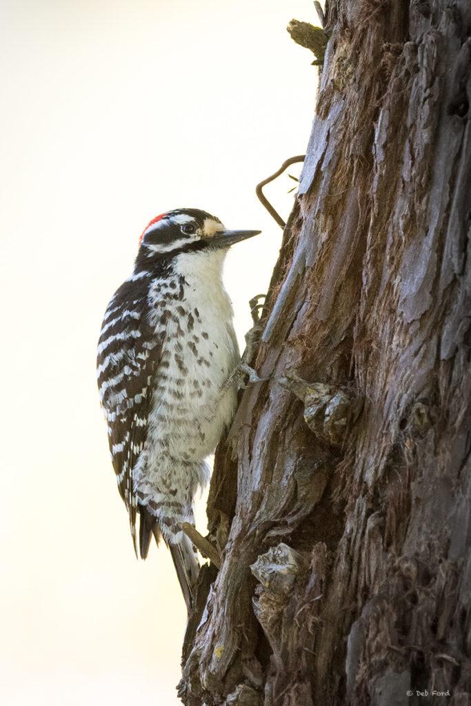 Nuttall's Woodpecker (Deb Ford)