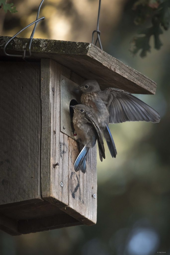 Juvenile Western Bluebirds; © Deb Ford