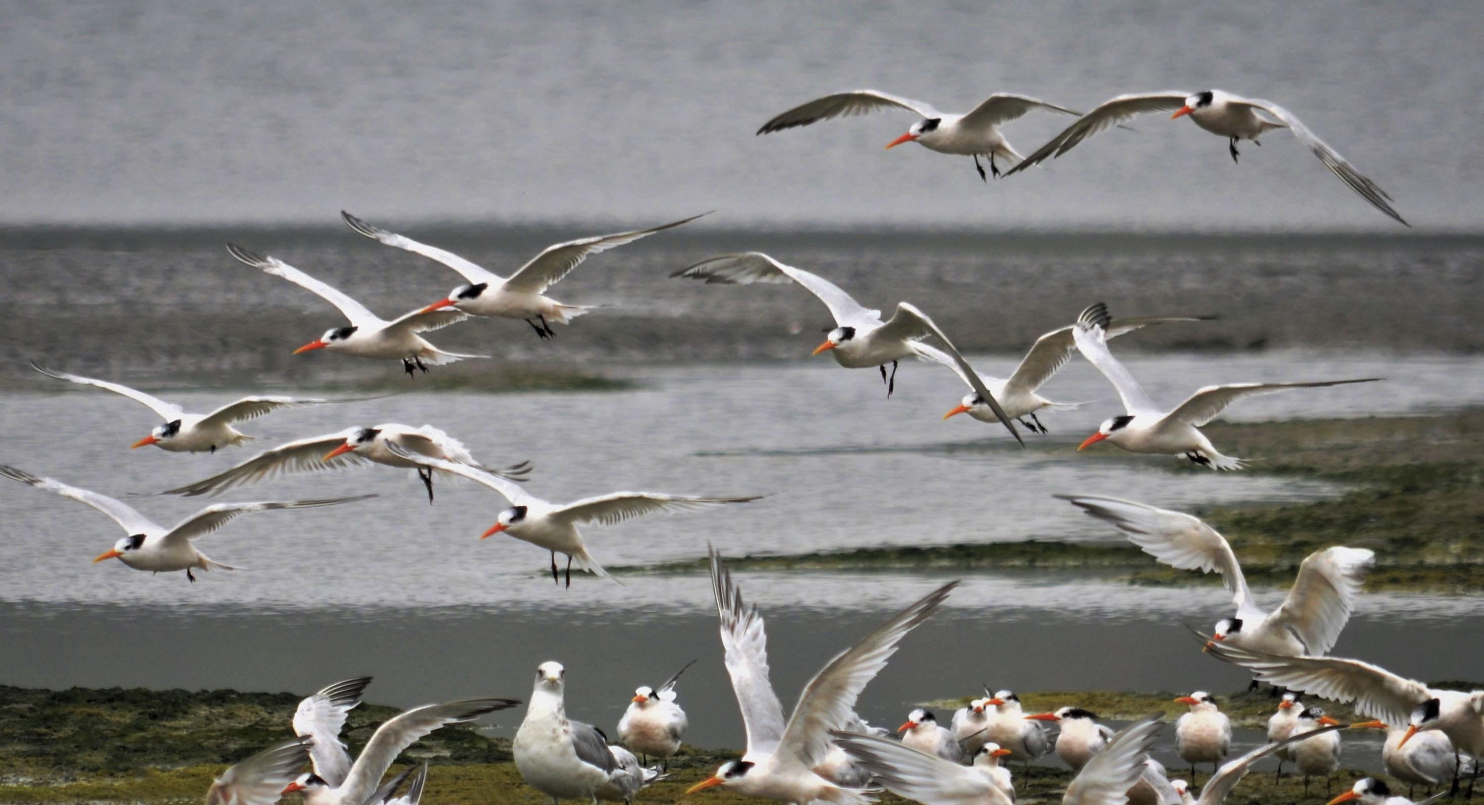 Elegant Terns, Bolinas Lagoon; © Sami LaRocca