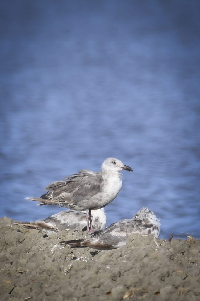 Glaucous-winged Gull, © Bart Wickel