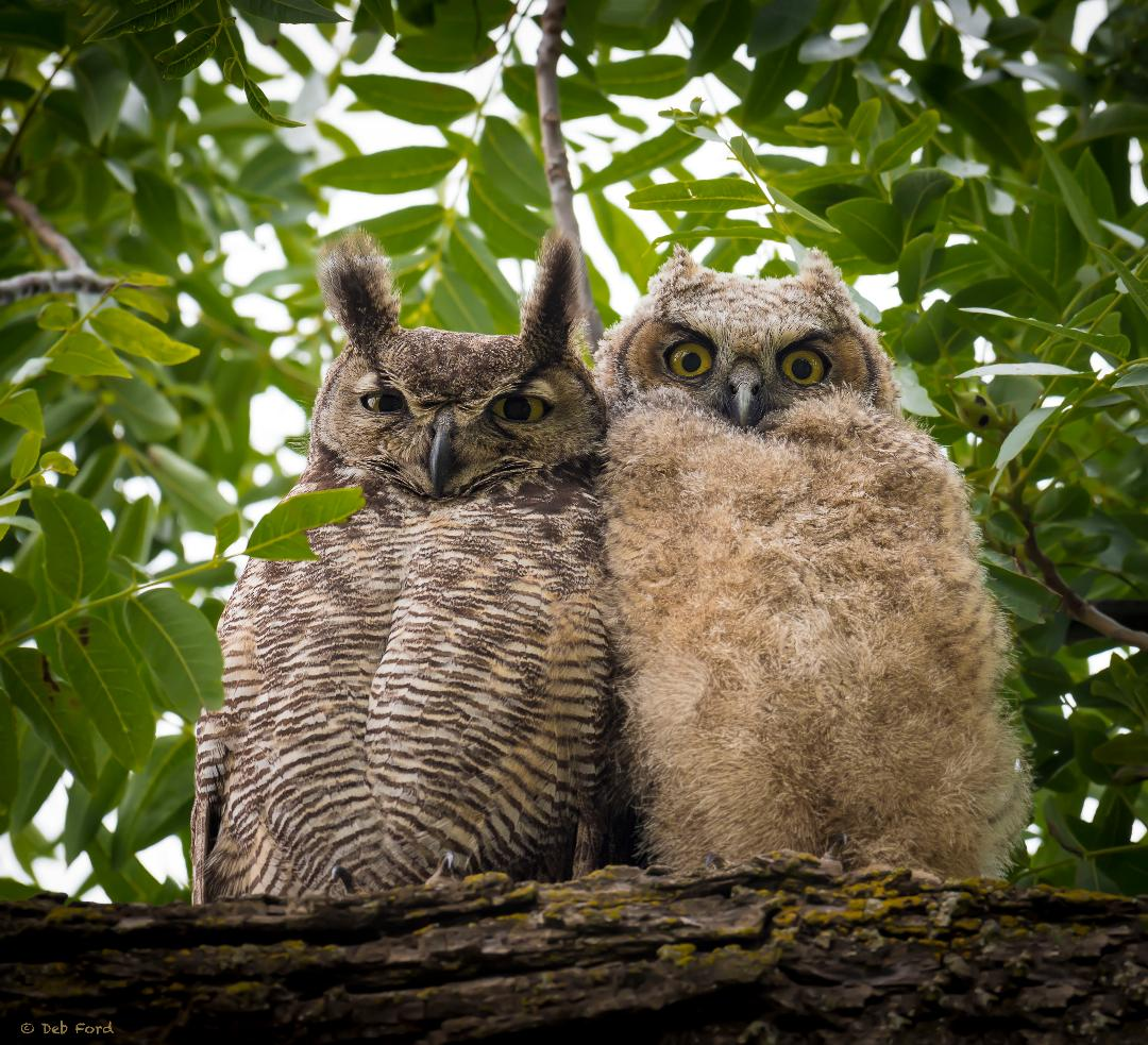 Great-horned Owls, photo Deb Ford