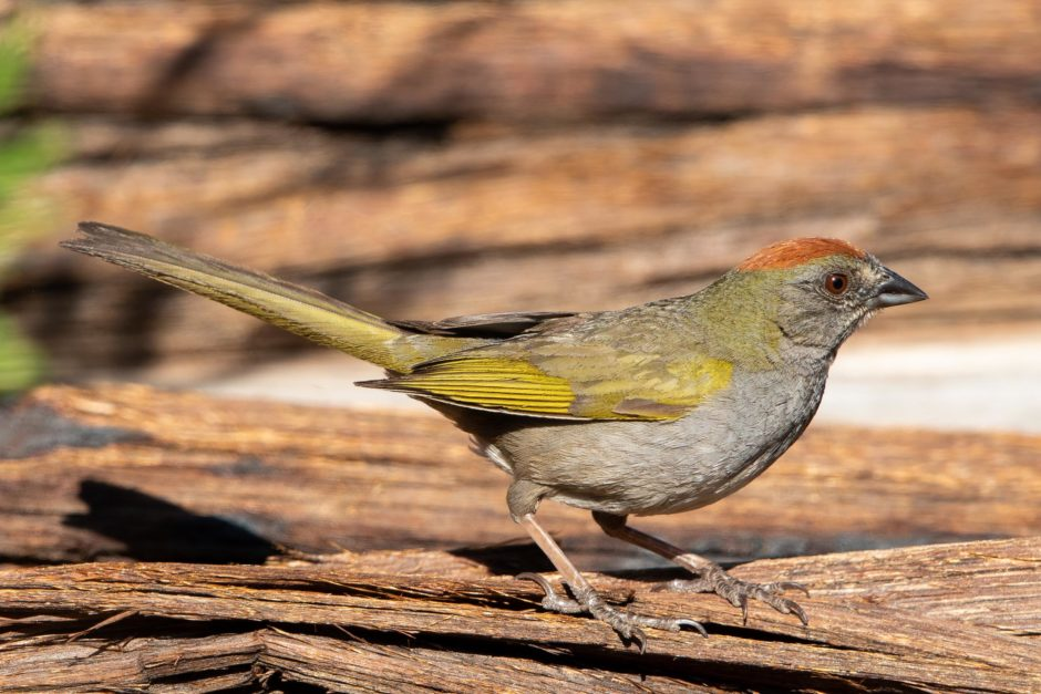 Green-tailed Towhee; © Ann Brice