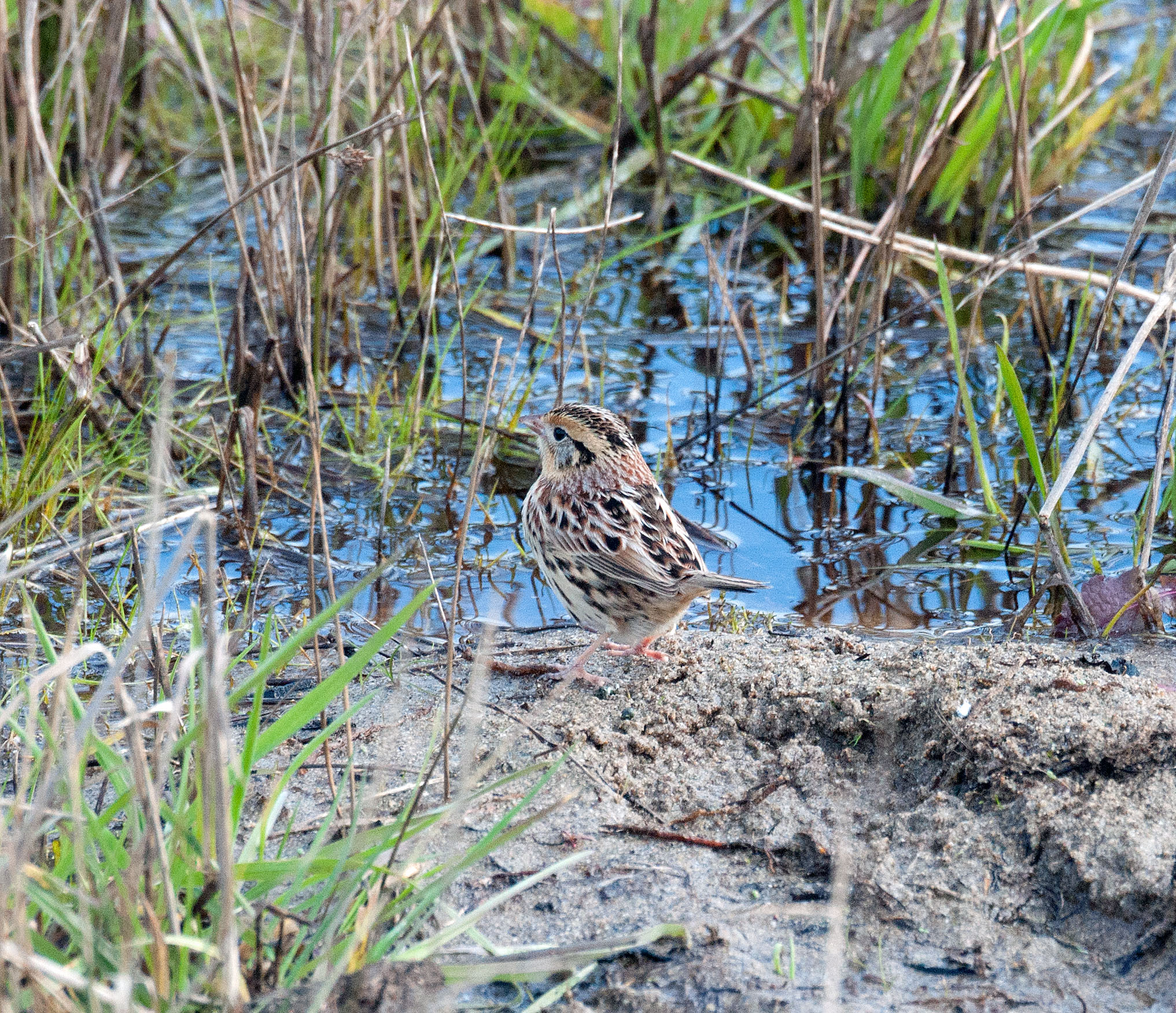 LeConte's Sparrow, Abbott's Lagoon, PRNS, photo Kevin Guse