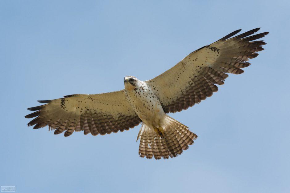 Swainson's Hawk, © Deb Ford