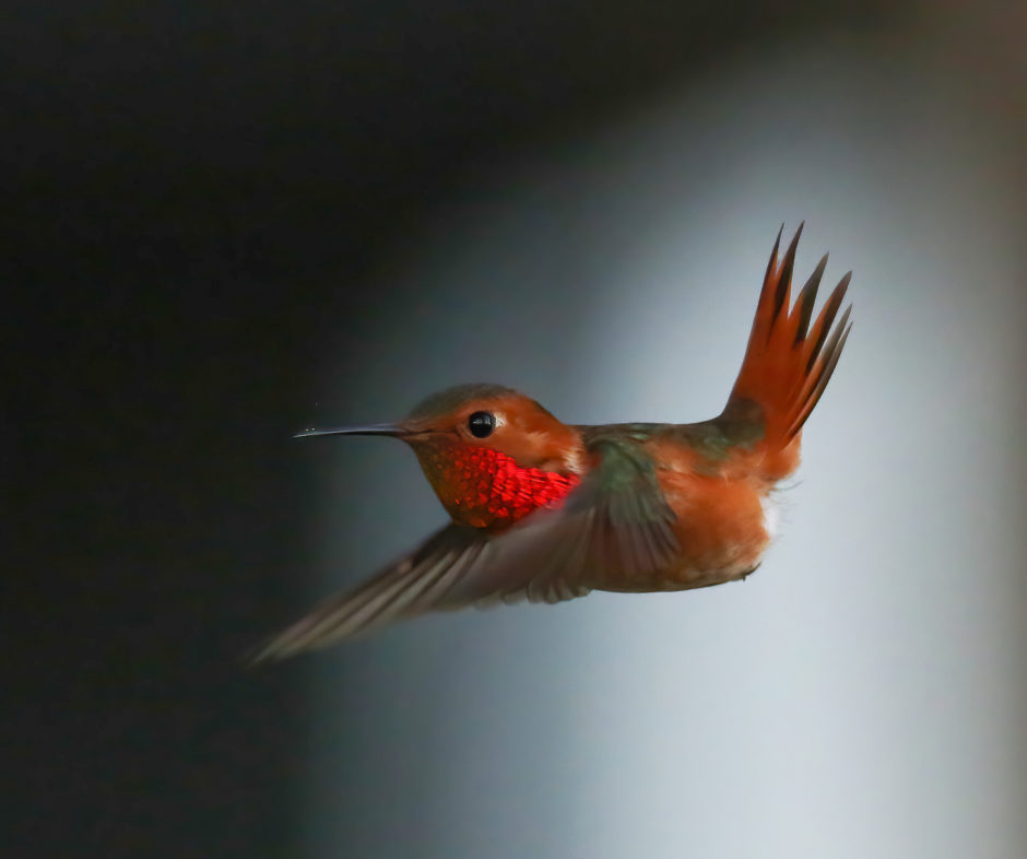 Allen's Hummingbird; © Zane Pickus