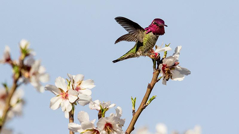 Anna's Hummingbird on Peach Flowers; Sarah Mayhew