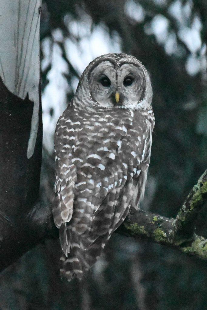 Barred Owl; © Bart Wickel