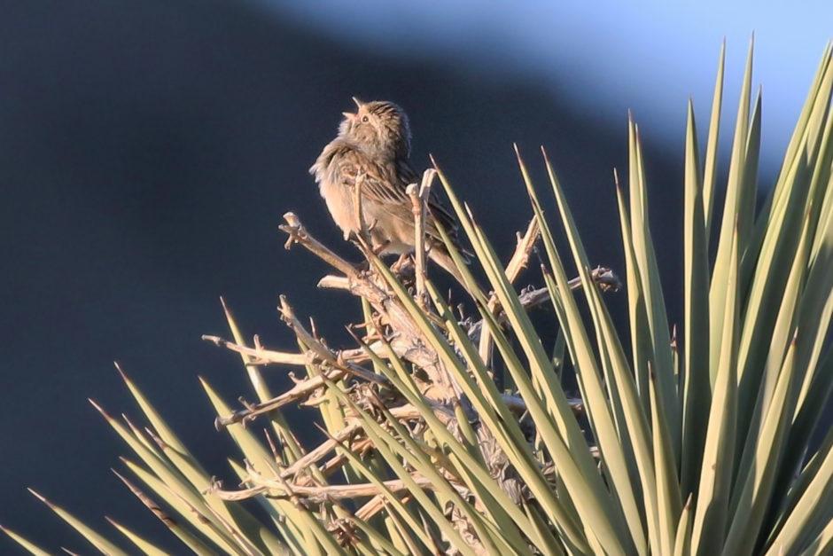 Brewer's Sparrow; © Steve Hampton