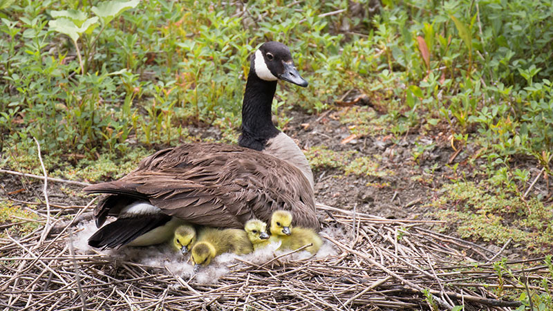 Canada Goose with Goslings © Beth Savidge