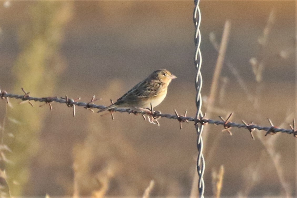 Field Trip Report; Yolo County Sparrows(10/20)