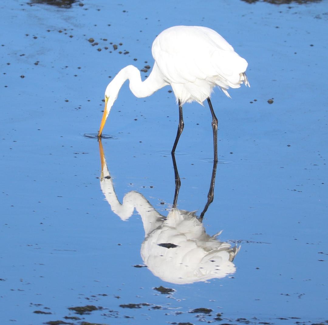 Great White Heron, Lori Maloney