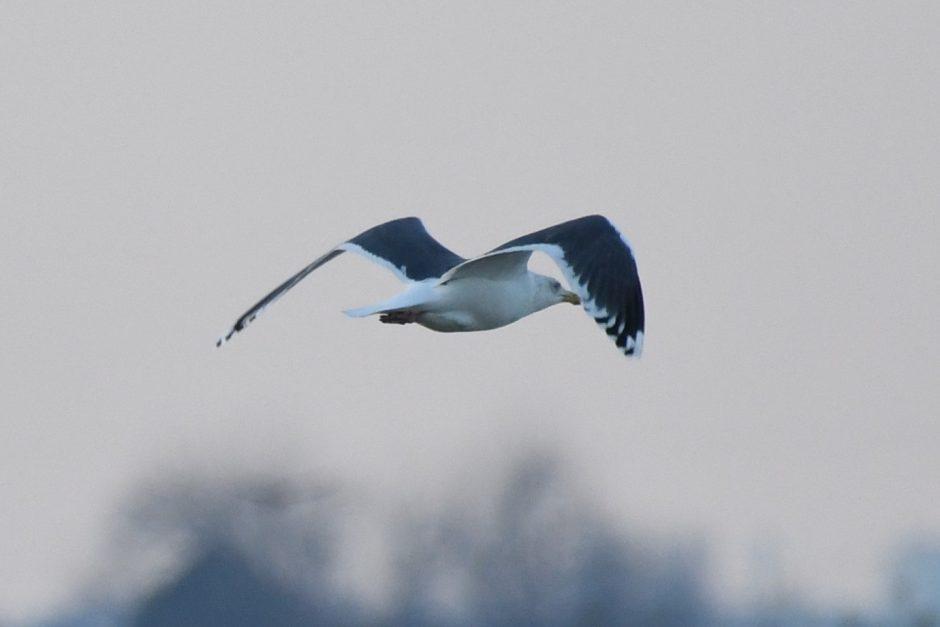 Slaty-backed Gull; © Bart Wickel