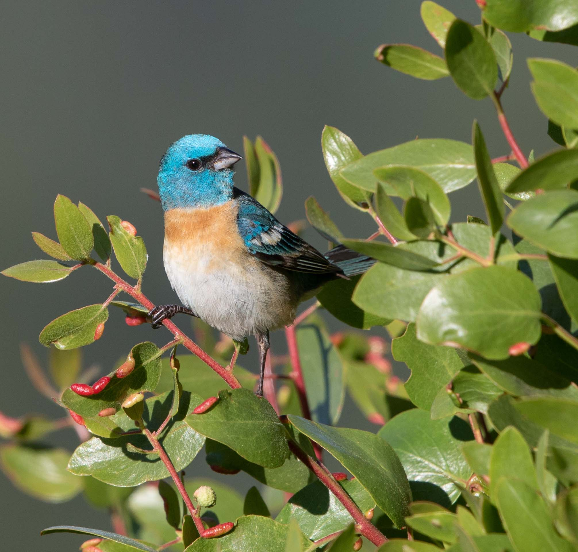 A Century of Changing Birdlife in the Central Valley