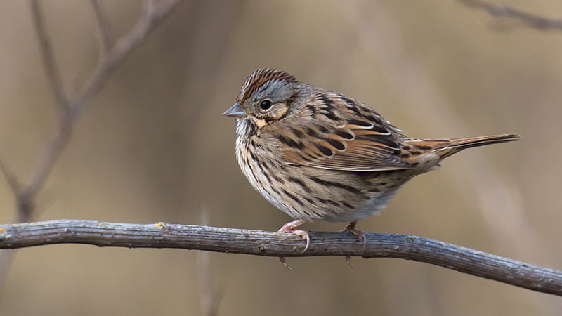 Lincoln Sparrow, Beth Savidge
