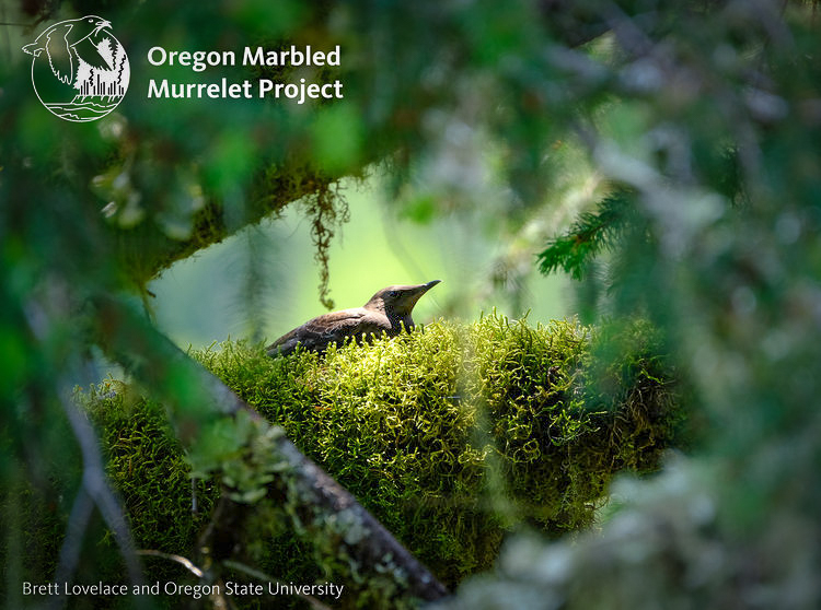 Marbeled Murrelet; © Brett Lovelace