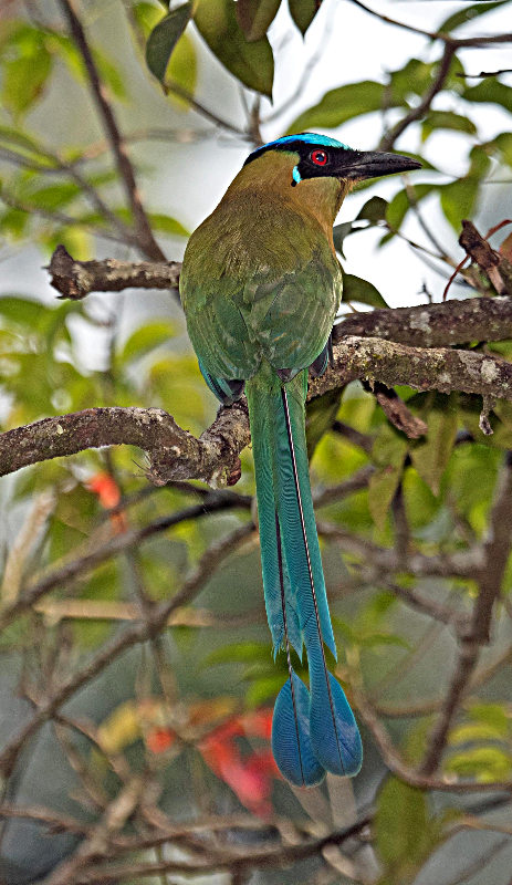 Image of an Andean Motmot