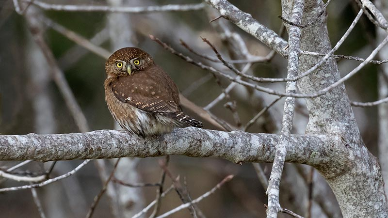 Photo of Northern Pygmy Owl by Sarah Mayhew