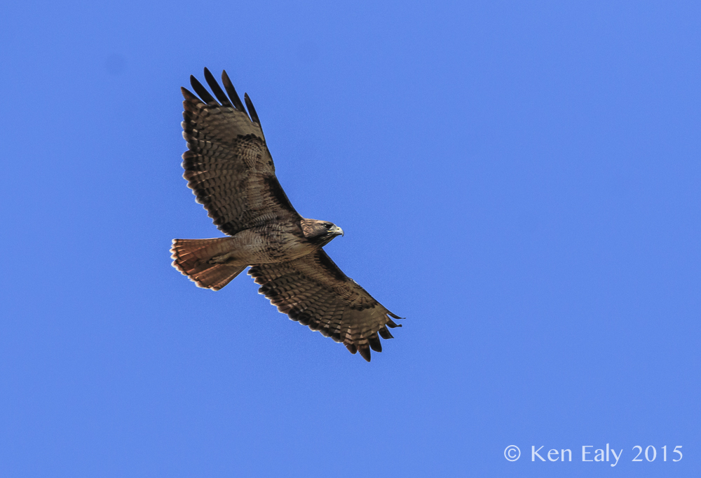 Red-tailed Hawk; © Ken Ealy