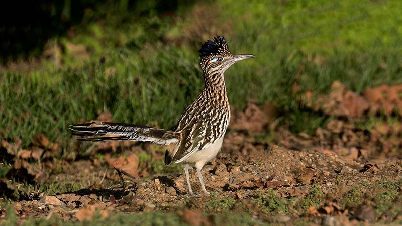 Roadrunner in Zamora © Sarah Mayhew