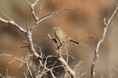 Rufous-crowned Sparrow, Steve Hampton