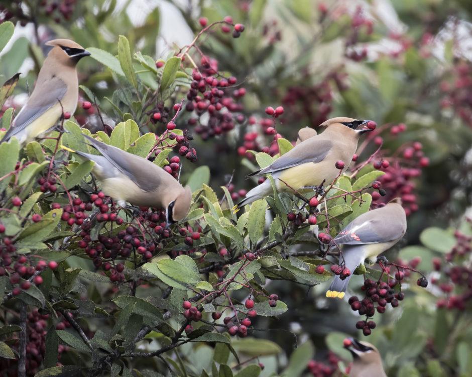 Cedar Waxwings and Toyon Berries; © Erna Tarara