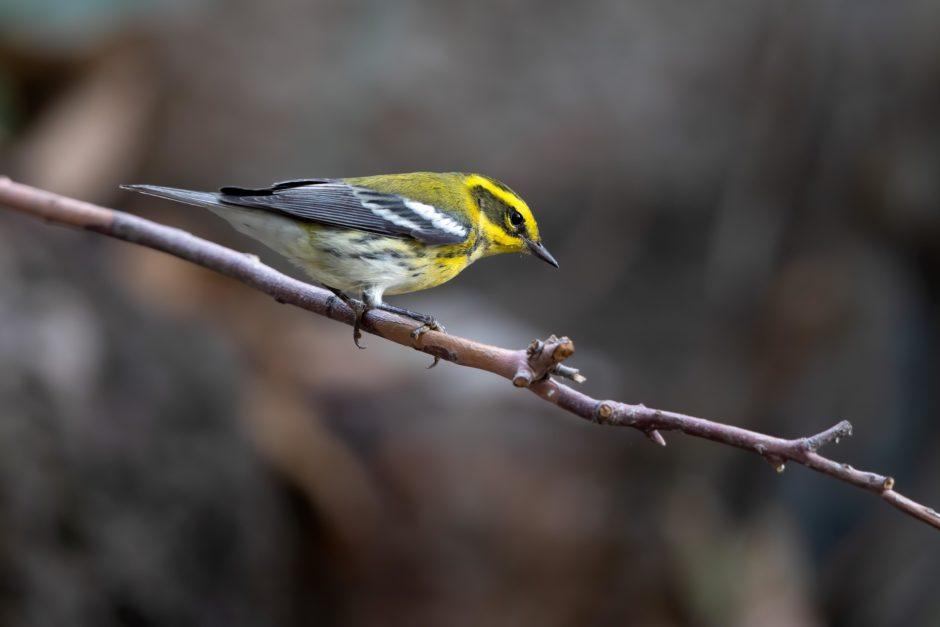 Townsend's Warbler; © Ann Brice