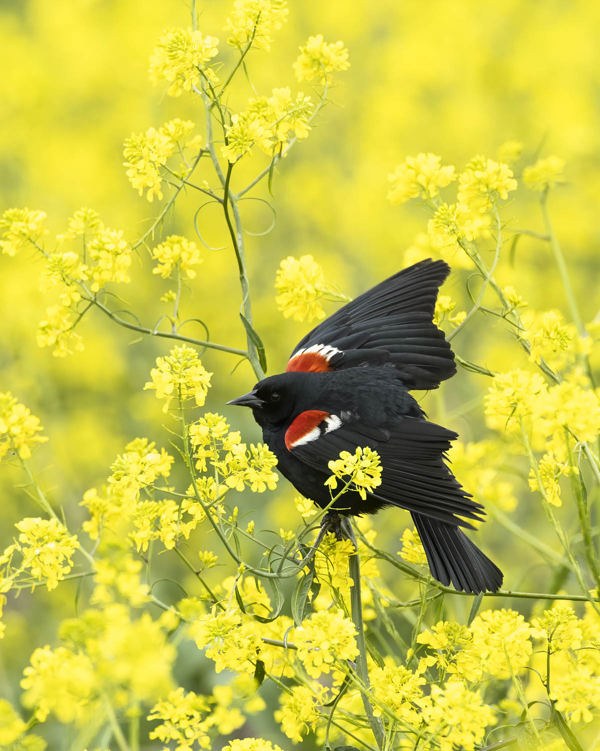 The tricolored blackbird—still in peril