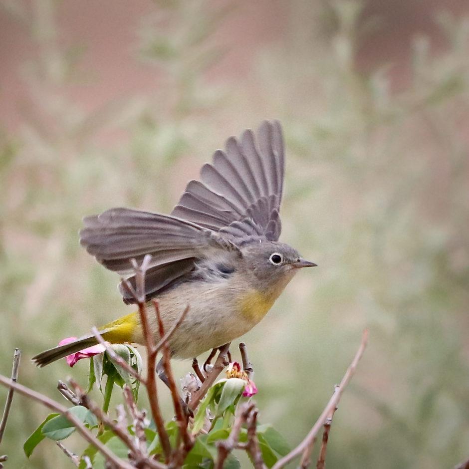 Virginia's Warbler; © Debby Howard