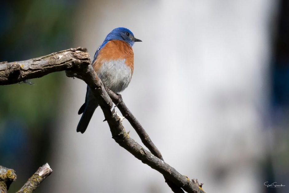 Western Bluebird, Steve Sinnock