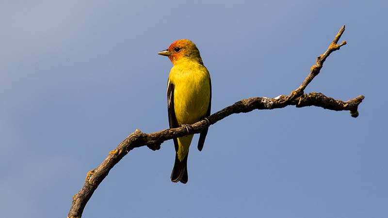 Photo of Western Tanager at West Pond by Sarah Mayhew