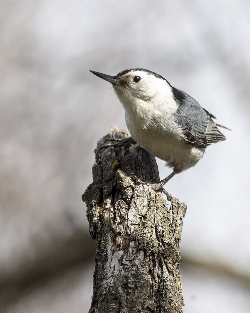 White-breasted Nuthatch; © Erna Tarara
